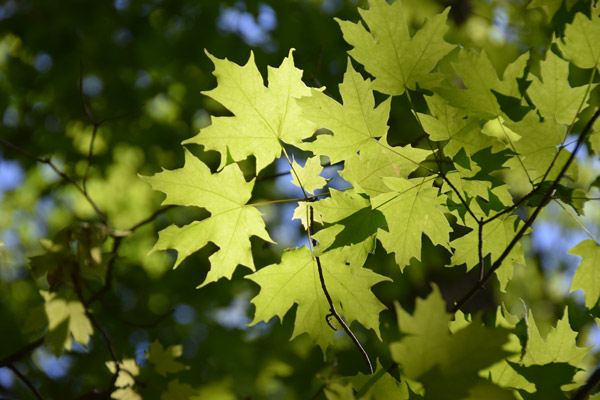 Sunlight shining through green maple leaves seen from below. Revealing the core of the leaf